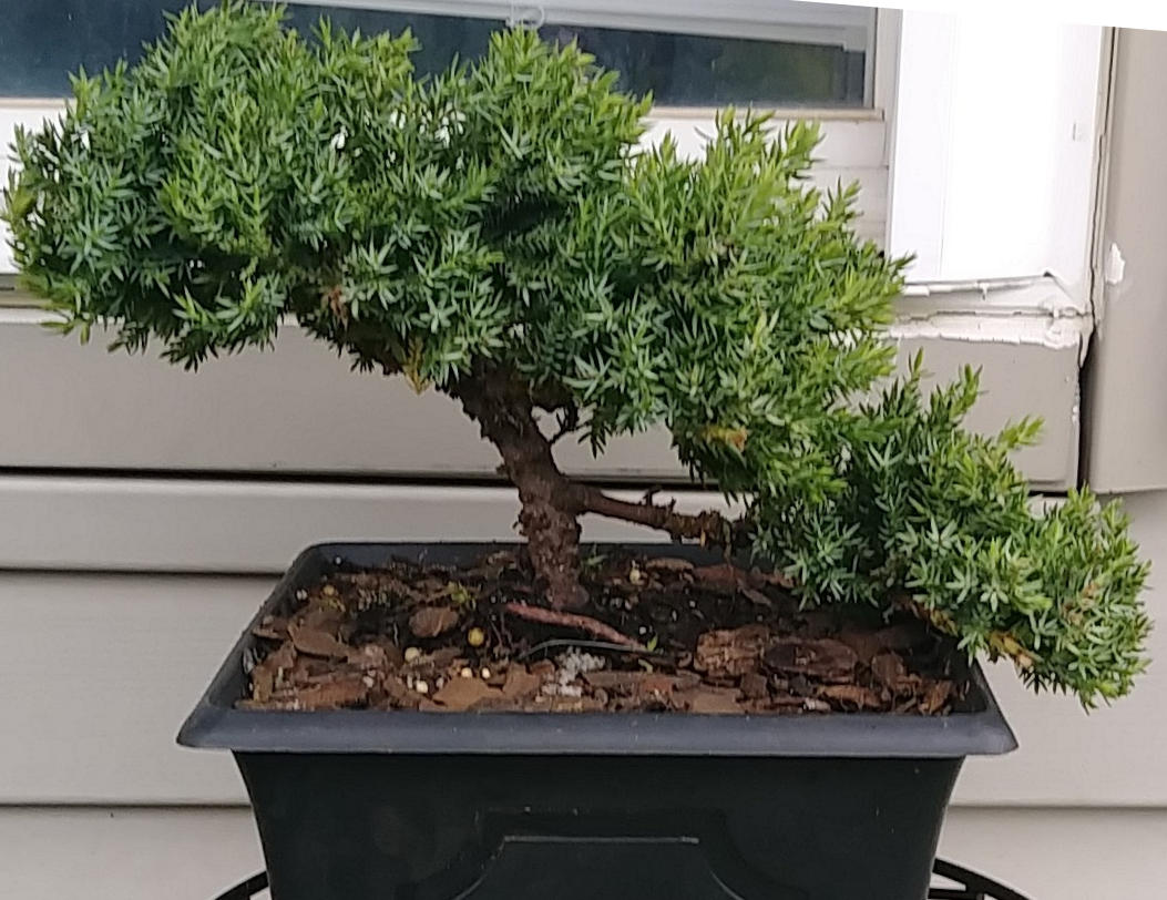 What I Ve Learned From Killing Bonsai Trees Japan Powered